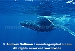 Humpback Whale images