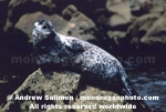 Harbor Seal photos