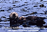 Sea Otter photos