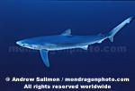 Blue Shark pictures