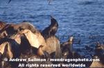 California Sea Lions pictures