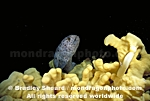 Juvenile Wolf-Eel pictures