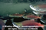 Sockeye Salmon Spawning photos