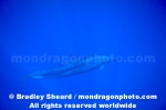 False Killer Whale images