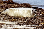 Gray Seal Pup pictures