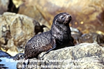 New Zealand Fur Seal Pup pictures