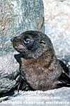 New Zealand Fur Seal Pup photos