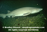 Sixgill Shark pictures