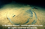 Atlantic Torpedo Ray images