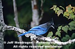 Steller�s Jay pictures