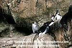 Common Murres images