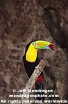 Keel Billed Toucan images