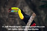 Keel Billed Toucan pictures