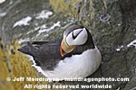 Horned Puffin photos