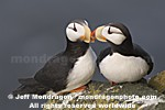 Horned Puffins photos