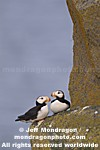 Horned Puffins images