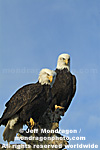 Bald Eagles pictures