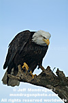 Bald Eagle images