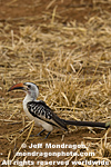 Red-Billed Hornbill pictures