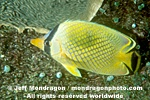 Latticed Butterflyfish pictures