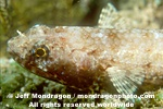 Variegated Lizardfish pictures