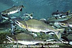 Pink Salmon pictures