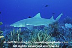 Lemon Shark photos