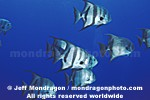 Atlantic Spadefish photos