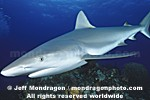 Caribbean Reef Shark photos
