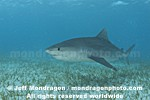 Tiger Shark pictures