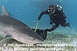 Tiger Shark photos