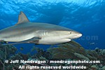 Caribbean Reef Shark pictures