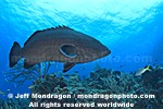 Black Grouper pictures