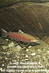Coho Salmon pictures