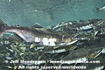 Pink Salmon Spawning  photos