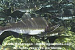Pink Salmon Spawning  images