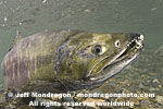 Chum Salmon photos