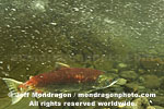 Sockeye Salmon photos