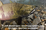 Spawning Chum Salmon pictures