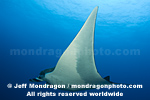 Giant Manta Ray images