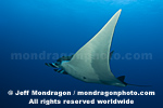 Giant Manta Ray pictures