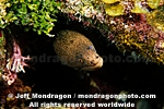 Goldentail Moray photos