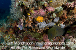Giant Moray on Coral Reef images