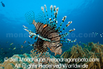 Common lionfish photos