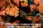 Giant Moray Eel on Coral Reef images