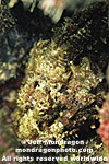 Spotted Scorpionfish photos