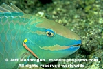 Stoplight Parrotfish images