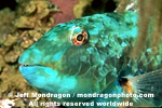 Redtail Parrotfish photos