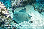 Bat ray pictures