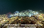 Lingcod images